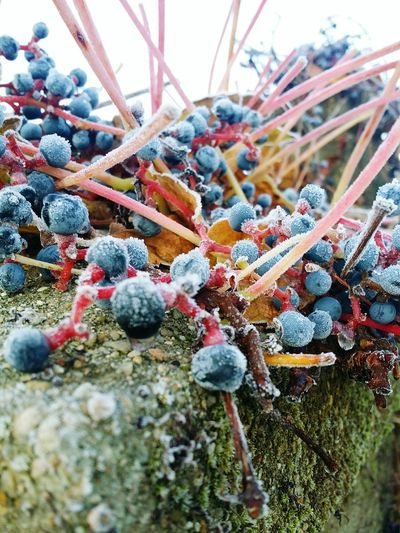 Close-up of berries on plant during winter