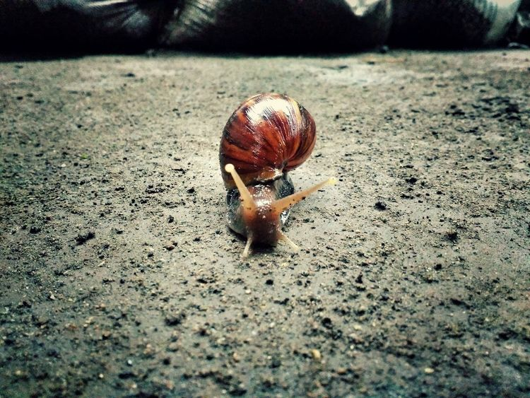"I call it ""Siput"" Snail🐌 Slow Animal EyeEm Selects"