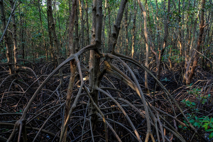 Mangrove Mangrove Forest Mangrove Forests Mangrove Plant Mangroveplant Root Tree Wood Wooden Wooden Texture Woods