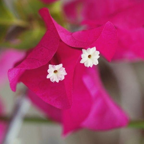 G morning💟 Bougainvillea ブーゲンビリア 花 EyeEm Nature Lover EyeEm Flower Flower 顔
