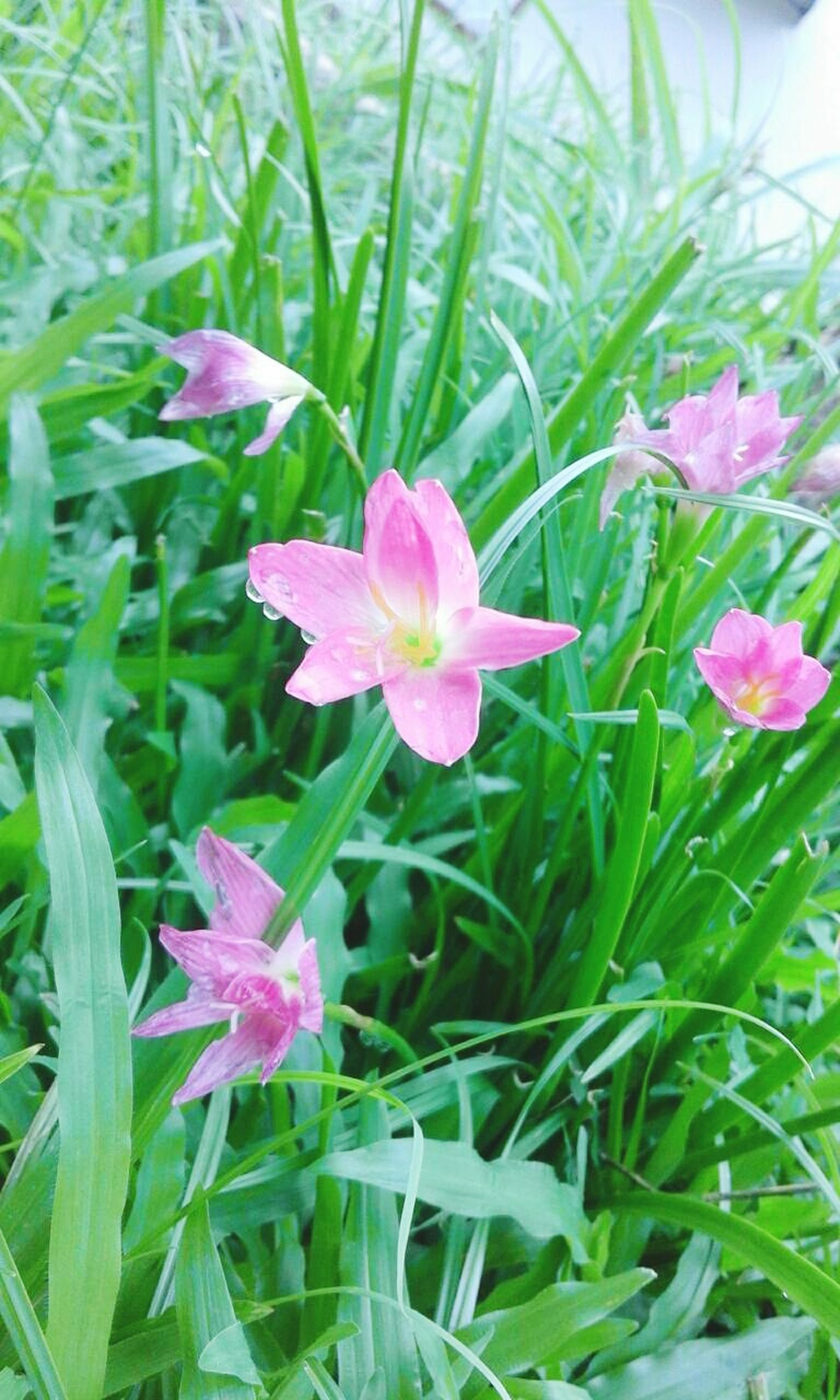 flower, freshness, petal, fragility, growth, flower head, beauty in nature, pink color, blooming, plant, nature, leaf, green color, field, in bloom, grass, close-up, day, outdoors, no people, focus on foreground, blossom, purple, botany, pollen, tranquility, green, selective focus