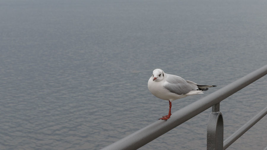 Seagull stay on the coast, gull isolated