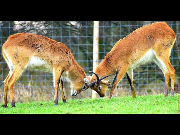 Two Black Bucks at Knowsley Trevor Boulton No People Nature Knowsleysafaripark Animal Themes Nikon Full Frame Outdoors