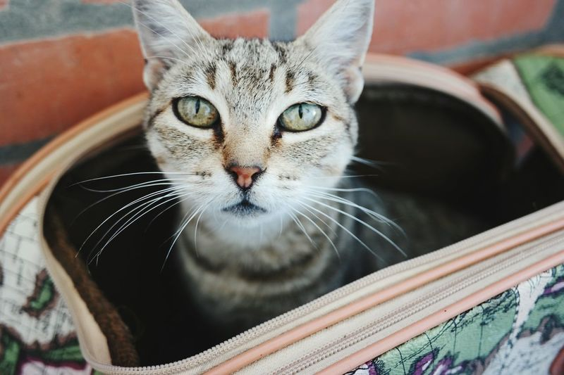 Cat Looking At Camera Feline Animal Domestic Cat Daylight Nature Catinthebag Dayligth Naturelovers One Animal Beauty In Nature Pets