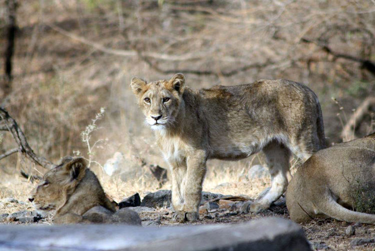 Gir National Park Animal Themes Animal Wildlife Animals In The Wild Day EyeEmNewHere Lion - Feline Lion Cub Lioness Mammal Nature Nature Photography Nature Reserve No People One Animal Outdoors Rakeshtiwari Safari Animals Wildlife Wildlife & Nature Wildlife Photography