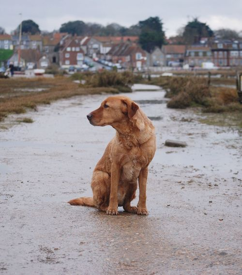 Bonzo @bonzosworld instagram Dog Animal Themes Pets Focus On Foreground Domestic Animals One Animal Red Lab Red Fox Lab Labrador Retriever Labrador Marsh Outdoors Day No People Pet Portraits