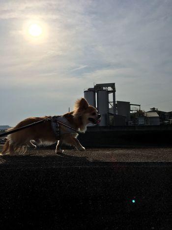 Domestic Animals Animal Themes Mammal Pets Dog One Animal Sky Cloud - Sky Day No People Outdoors Niko Chihuahua Family