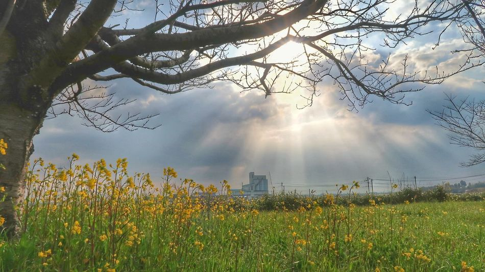 Tree Sky Nature Branch Cloud - Sky Growth Beauty In Nature Tree Trunk Outdoors No People Day Flower Flowers 菜の花 Grass Sun Sunlight Skyview Spring Springtime Nature Growth Sunbeam Morning Sun