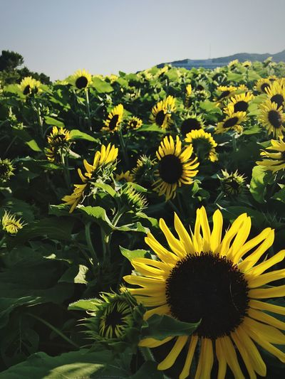 Sunflower Growth Flowering Plant Beauty In Nature Fragility Vulnerability  Yellow