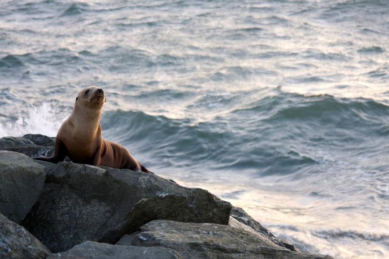 Elephant seal on rock by sea