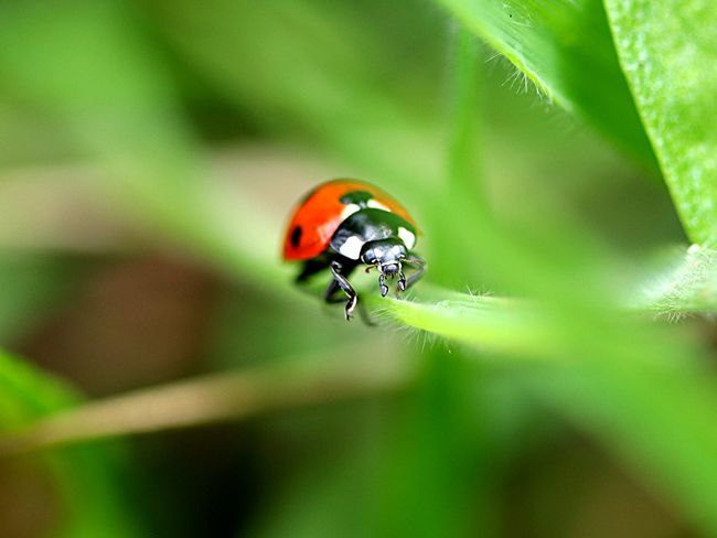 Ladybird Ladybug Insect Animal Themes Animals In The Wild Animal One Animal Beetle No People Selective Focus Close-up Nature Leaf Fragility