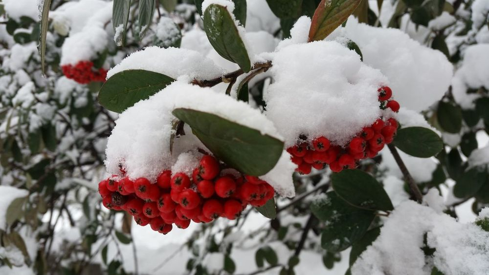 Beauty In Nature Christmas Christmastime Close-up Cold Temperature Holidays Nature Outdoors Red Seasons Seasons Greetings Snow Tree Weather Winter