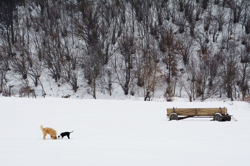 Side View Of Dogs By Cart On Snow Covered Field
