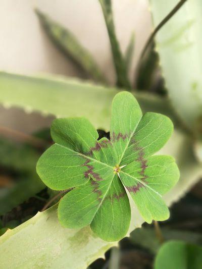 Día de suerte Trebol De Cuatro Hojas Lucky Mygarden Leaf Flower Living Organism Insect Close-up Animal Themes Plant Green Color