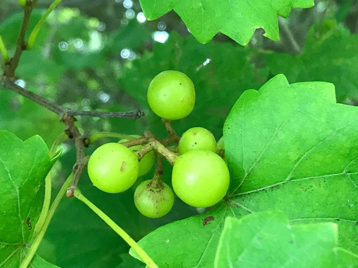 Muscadine Muscadine Berries Fruit Green Color Leaf Food And Drink No People Food Unripe Healthy Eating Nature Freshness Outdoors Day Close-up Muscadine Vine Muscadine Grapes Grapes Grape Vine Grape Foliage Agriculture Bunch Vine Viticulture Growth