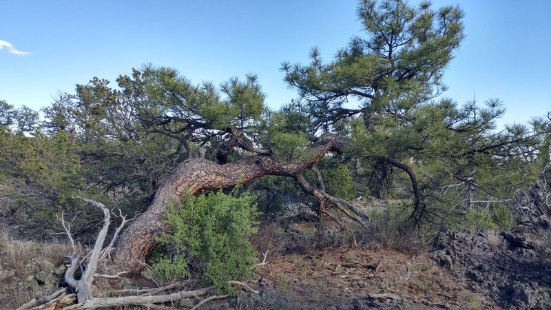Nature Tree Day Outdoors No People Growth Low Angle View Beauty In Nature Sky Close-up Leaning Lean New Mexico Beauty In Nature Landscape Rural Pine Tree Pinaceae Forest Photography Rural Scene Hiking Survive Thrive Thrive Anywhere Sunlight