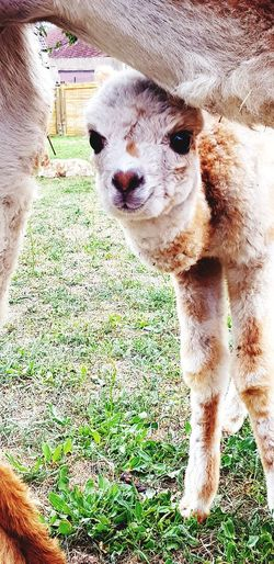 Alpaca EyeEm Selects Alpaca Alpacas Pet Cute Pets Cute Igers Igersoftheday Picoftheday Picture Pictureoftheday Pets Dog Portrait Close-up Puppy Young Animal Peru