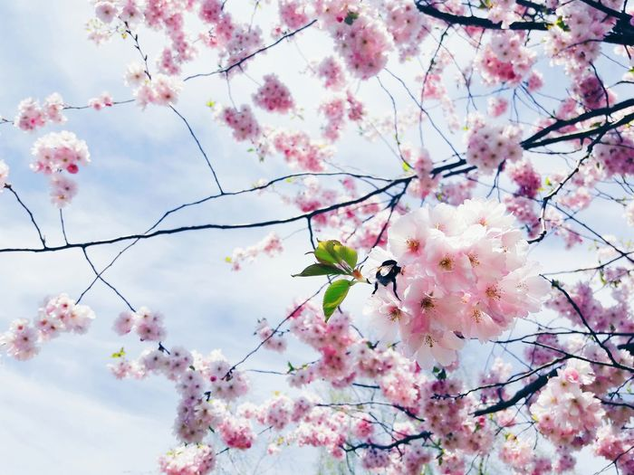 Sakura Sakura Blossom Sakura Trees Pink Color Cherry Blossoms Cherry Blossom Flower Growth Beauty In Nature Nature Blossom Branch Tree Fragility Sky Outdoors No People Day Springtime Cloud - Sky Plant Backgrounds Low Angle View Freshness Close-up