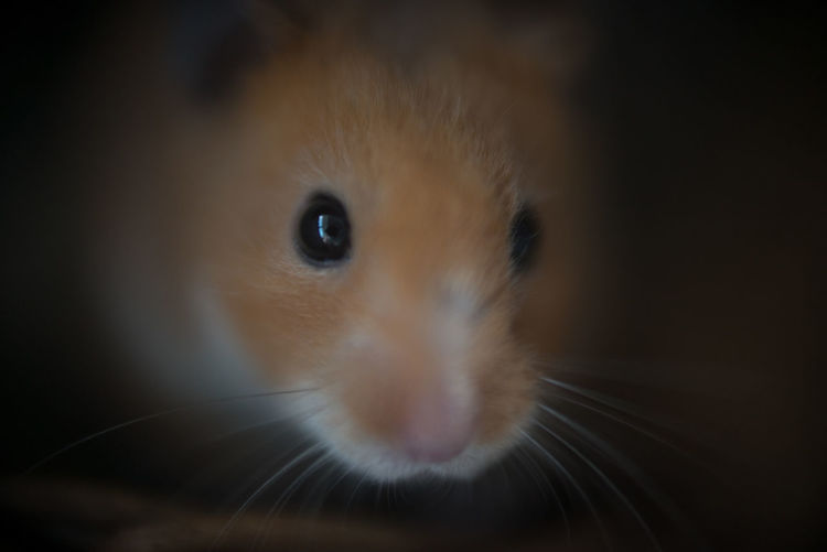 Animal Themes Close-up Day Domestic Animals Hamster Indoors  Looking At Camera Macro Photography Mammal No People One Animal Pets Syrian Hamster  Whisker