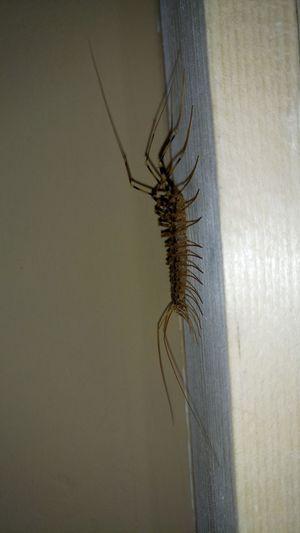 Centipede Centipede Beown Yellow Leg Nofilter Night Wall Door Insect Close-up Arachnid Animal Wing Animal Leg Arthropod Invertebrate Animal Limb Animal Antenna
