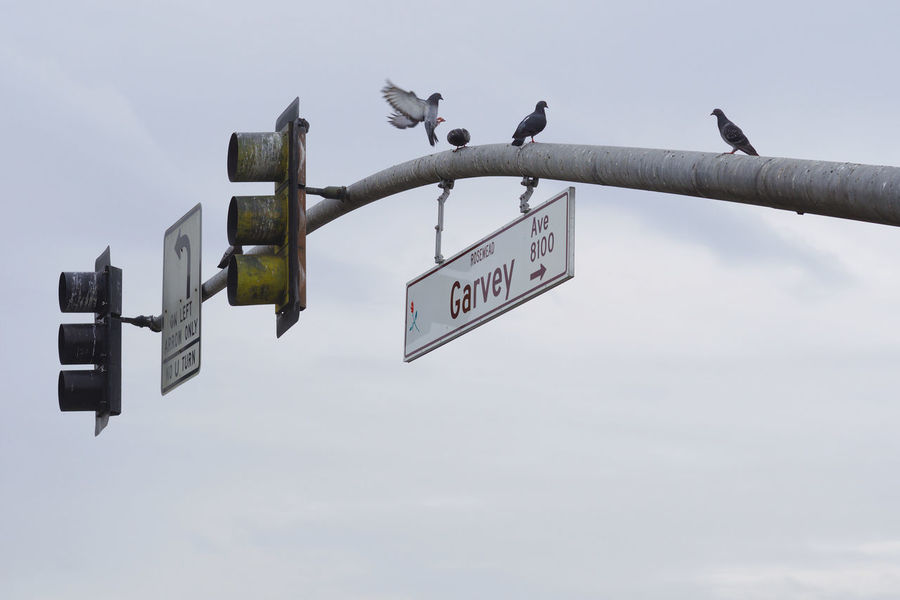Pigeons on crossroad lights Animal Themes Bird California Communication Crossroads Day Direction Lights Lines Low Angle View Nature No People Outdoors Perching Pigeons Red Light Road Sign San Gabriel Valley  Sky Street Sign Text The City Light