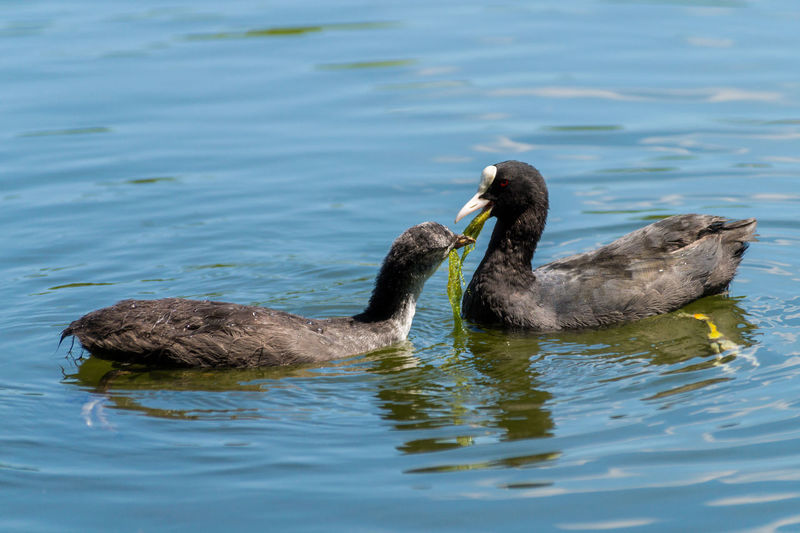 A Coot feeds her young one on a sunny day Animals Animals In The Wild Beauty In Nature Birds Black Capture The Moment Coot Floating Nature Nature Photography Sunny Sunshine Swimming Water Water Bird Wildlife