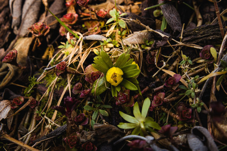First winter aconite in our garden, 2017. Beauty In Nature Close-up Day Eranthis Hyemalis Flower Flower Bed Flower Head Fragility Freshness Garden Flowers Growth Leaf Leaves Nature No People Outdoors Plant Soil On The Ground Winter Aconite Winterlinge Yellow Flower Nusshain 02 17