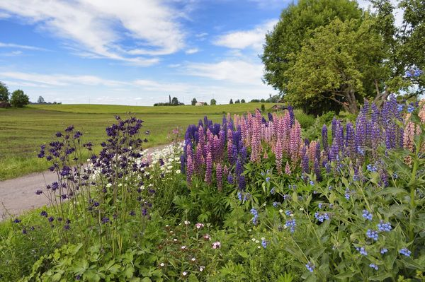 Landscape with lupins and tries in Stange, Norway Blumen Landschaft Nature Norway Norwegen Stange Norway Beauty In Nature Cloud - Sky Day Field Flower Growth Landscape Lila Lupin Lupine Nature No People Outdoors Pflanzen Plant Purple Ruhe Sky Tranquility