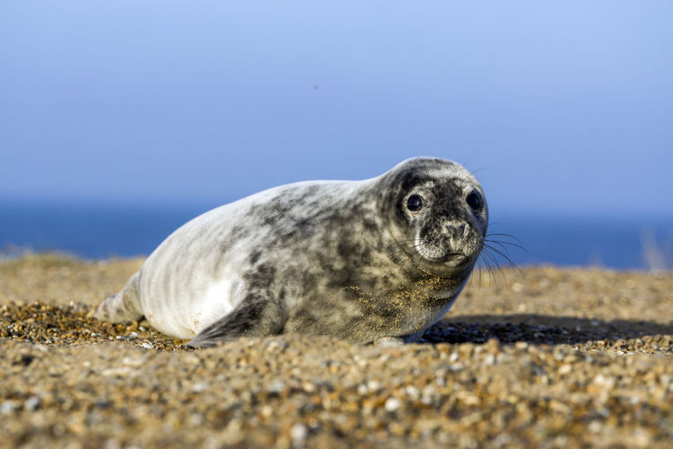 Close-up of seal at beach against clear blue sky