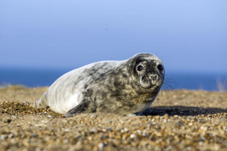 Animal Themes Animal One Animal Animal Wildlife Sea Nature Beach Land Seal - Animal Sea Life Seal Sealife Seals Sand Wild Wildlife Wild Animal Sashalmi EyeEm Nature Lover Animals In The Wild Surface Level Animal Head  Sky Water
