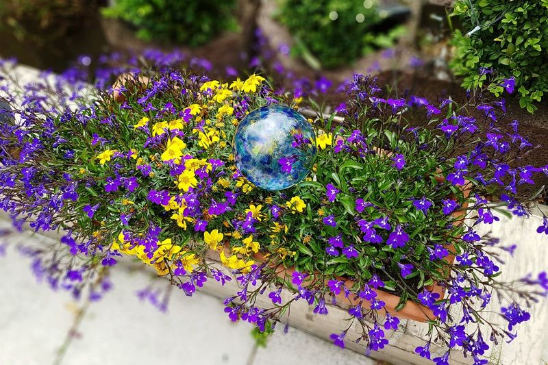 Purple Nature Plant Fragility Flower Beauty In Nature No People Multi Colored Day Outdoors Growth Close-up Freshness Summer Flowers Botany Blooming Season Ladyphotographerofthemonth Flower Power Flowerful High Angle View Beauty In Nature Blue Flowers Blütenpracht Bewässerungskugel Watering Glass Ball EyeEm Selects