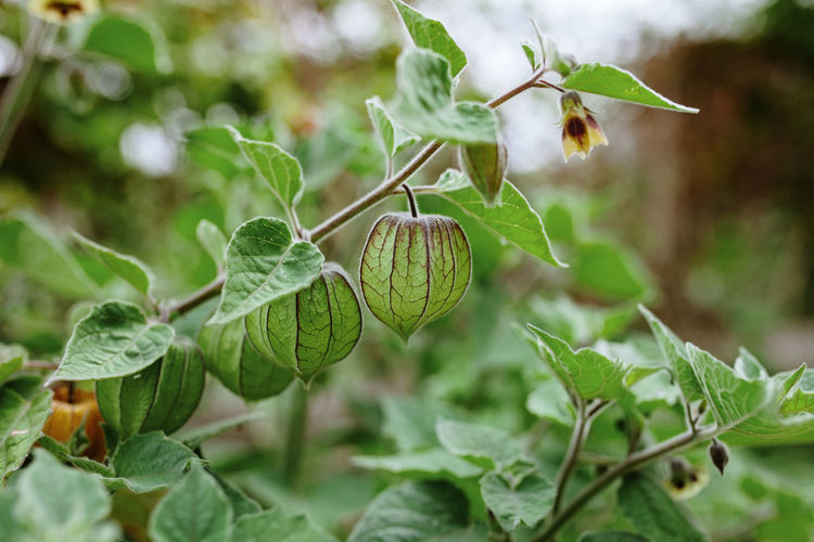 Close-up of physalis growing on tree