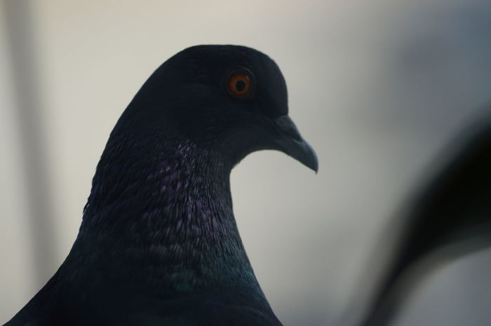 portrait of a pigeon Portaiture Close-up Bird One Animal Black Color Animal Themes