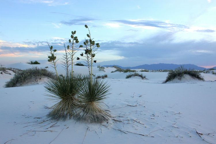 Yucca Plant WhiteSands National Park Landscape Desert Beauty In Nature Yucca Arid Climate No People Outdoors Tranquility Scenics Yucca Flower Sunset_collection Tranquil Scene Arid Landscape Barren Sand Arid