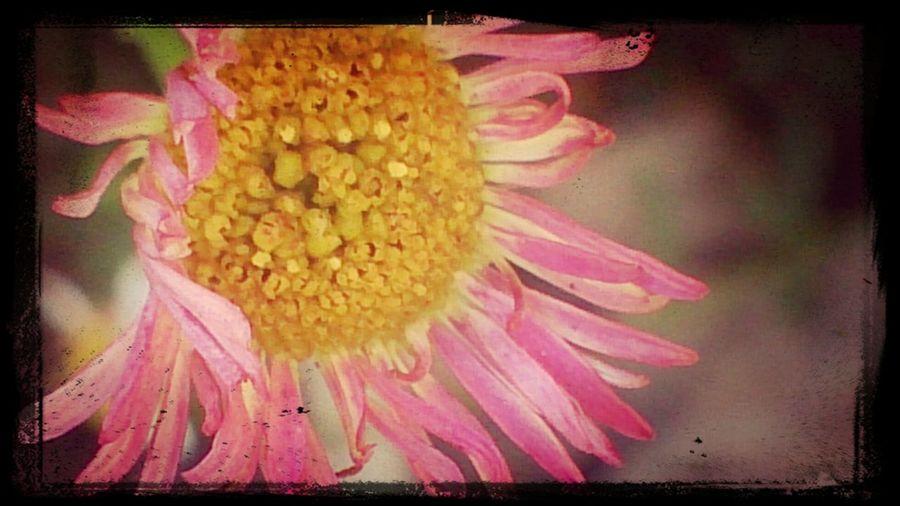 pink flowerpower <3 Pinkflower Pinkflomacro Macrophotography Mobilephotography