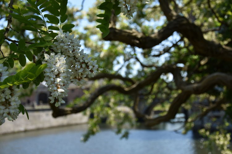 Beauty In Nature Blossom Branch Cherry Blossom Day Flower Flowering Plant Focus On Foreground Fragility Freshness Growth Leaf Low Angle View Nature No People Outdoors Plant Plant Part Springtime Tranquility Tree Vulnerability