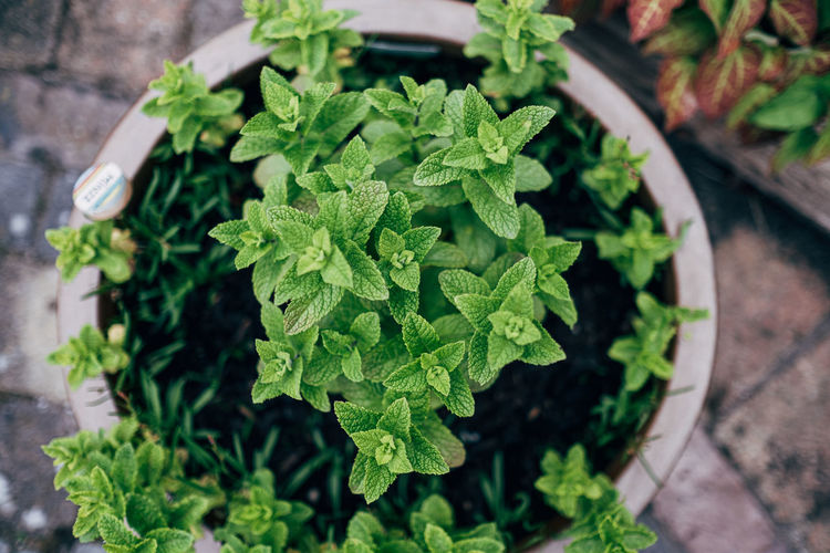 High angle view of potted mint