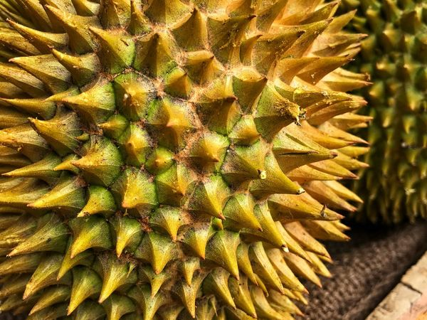 Durian ASIA King Of Fruit Durian Cactus Thorn Growth Spiked Nature Plant Green Color No People Day Outdoors Close-up Beauty In Nature Prickly Pear Cactus Freshness