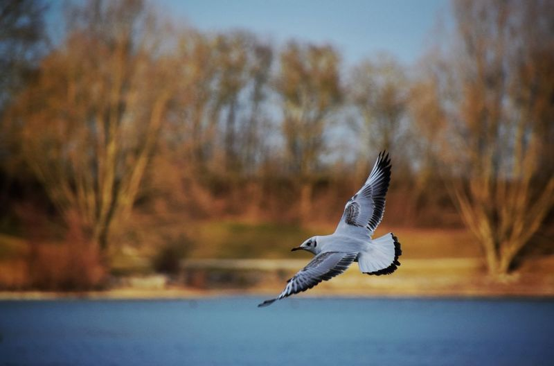 Flying Bird Spread Wings Animal Themes Animals In The Wild Mid-air One Animal Nature Animal Wildlife No People Day Outdoors Sky Beauty In Nature Tree Seagull Lake