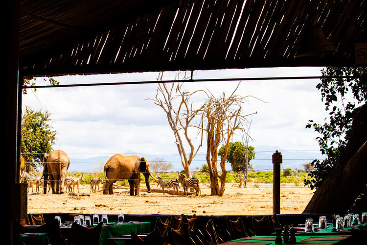 Elephants And Zebras Seen From Restaurant At Tsavo East National Park