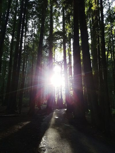 Tree Sunbeam Sunlight Forest Nature Sun Beauty In Nature Day Redwood Sequoia Trees Sequoia Redwood Trees Thousands Of Year Old Trees Tall Trees Redwood Trees High Angle View Beautiful Tall Trees