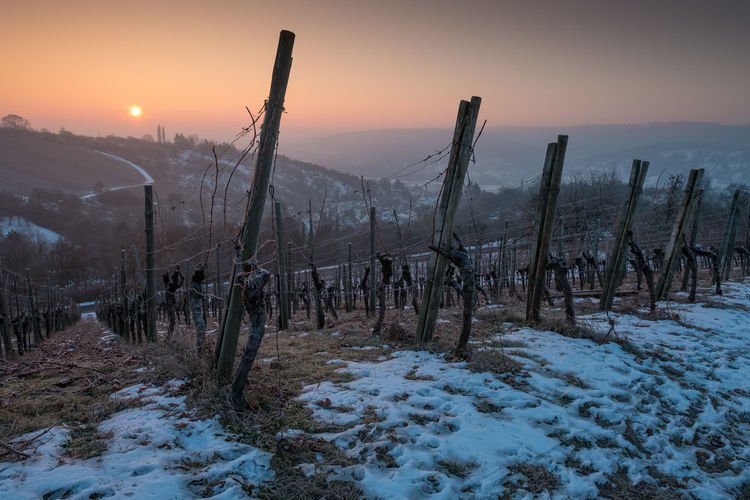Sunrise in winter in a vineyard in Germany Bare Tree Beauty In Nature Cold Temperature Day Dead Tree Forest Fire Frozen Germany Landscape Mountain Nature No People Non-urban Scene Outdoors Saguaro Cactus Scenics Sky Snow Sunset Tranquil Scene Tranquility Tree Vineyard Weather Winter
