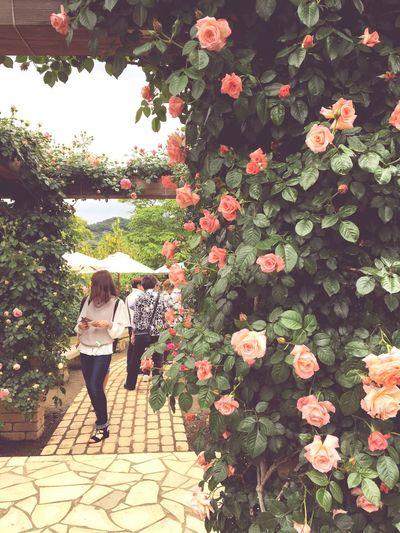 Flowers Rose🌹 Mawar Ashikaga Flower Park