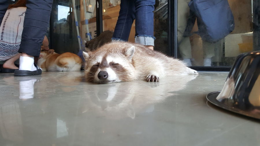 Raccoon Dog Sleeping On Floor