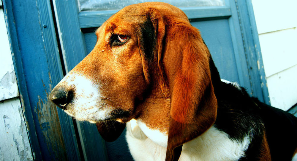 Basset Hound Basset Hound HoundDog Dog In Memory In Memoriam In Memory Of You RIP :( 04/15/16. i miss you lola belle :-(
