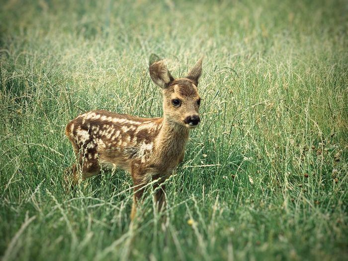Portrait of deer on grassy land