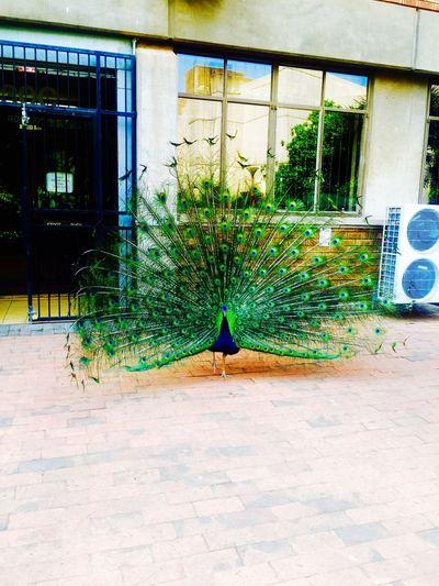 Had to take a picture❤️❤️ Beautiful ♥ Pretoria City JustHadToTakeAPic Peacock
