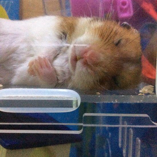 It's so cute:D Hamster My Hamster Hamsters
