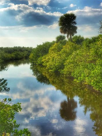Mangroves Palm Tree Tree Nature Growth Water Reflection Sky Tranquility Scenics Tranquil Scene Beauty In Nature Lake Day Outdoors No People Cloud - Sky Pelican Island National Wildlife Refuge Sebastian, Fl