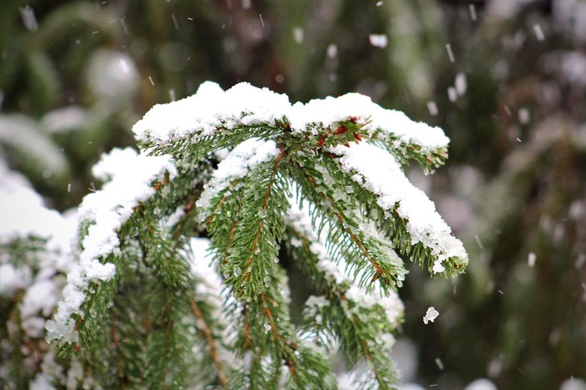 Snow Winter Cold Temperature White Color Nature Weather Frozen Day Tree Snowing Snowflake Fragility Beauty In Nature